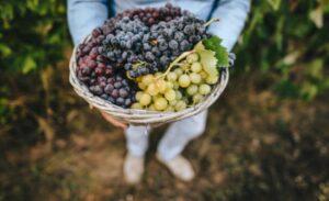 tipos de uvas para elaborar vinos