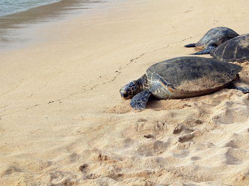 Época de tortugas